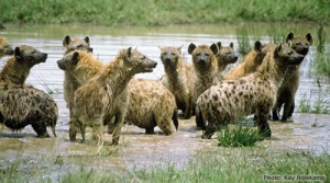 spotted_hyena_group_in_water_KHolekamp_web500